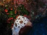 Leoparden-Nacktschnecke (Peltodoris atromaculata), Ustica